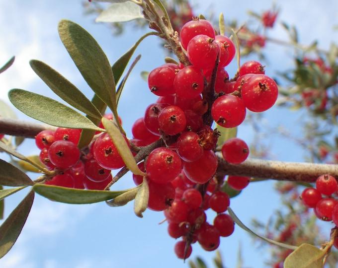 20 SILVER BUFFALOBERRY Shepherdia Argentea Red Fruit Native Bullberry Berry Shrub Seeds