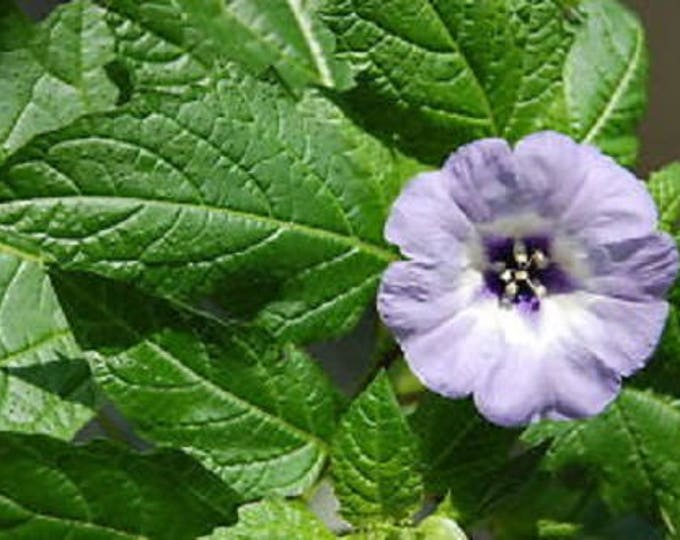 100 APPLE OF PERU Shoofly Plant Nicandra Physalodes Violet Blue Flower Seeds *Flat Shipping