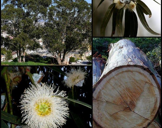 25 TASMANIAN Blue Gum TREE / EUCALYPTUS Globulus Flower Seeds *Flat Shipping