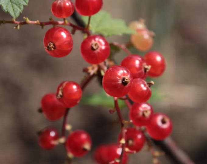 20 Red WAX CURRANT Edible Fruit Berries Pink Flowers Shrub Ribes Cereum Seeds