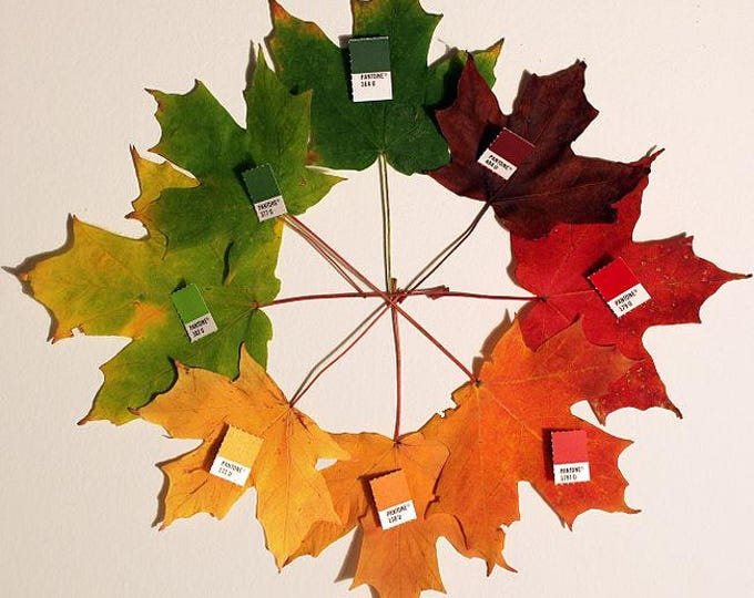 25 SUGAR MAPLE Syrup TREE Native Rock Fall Color Acer Saccharum Seeds