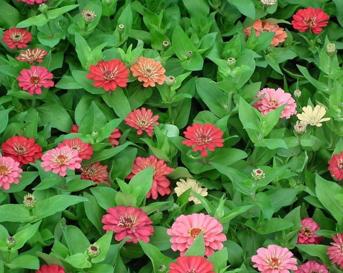 250 EXQUISITE ZINNIA Elegans Changes Color Red - Hot Pink Pale Pink Flower Seeds