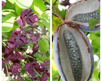 100 - 1000 Bulk CHOCOLATE VINE Edible Fruit Akebia Quinata Fragrant Flower Seeds