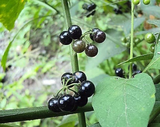100 WONDERBERRY aka Sunberry Solanum Burbankii Fruit Berry Shrub Seeds