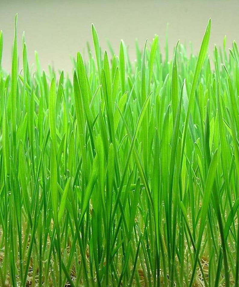 500 Organic CAT GRASS WHEAT Grass Pet Grass Wheatgrass Catgrass Triticum Aestivum Seeds photo