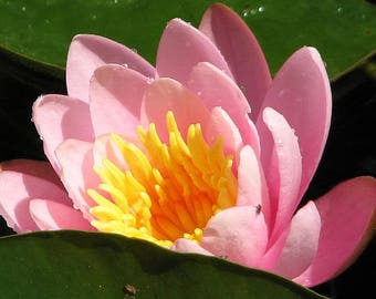 10 LIGHT PINK Water LILY Pad Nymphaea Sp Pond Asian Lotus Flower Seeds *Comb S/H