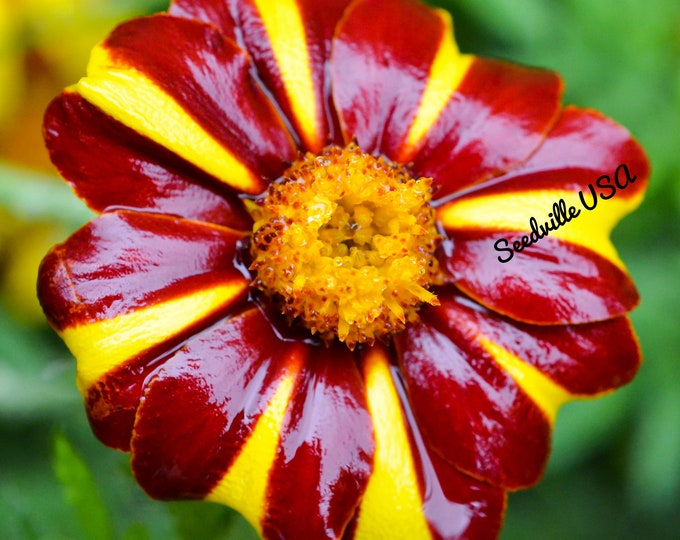 100 COURT JESTER MARIGOLD French Tagetes Patula Nana Red Yellow Striped Flower Seeds