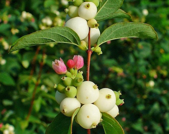 25 COMMON SNOWBERRY - WHITE Berries Pink Flowers Symphoricarpos Alba Shrub Seeds
