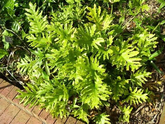 Philodendron Bipinnatifidum Selloum Houseplant 10 Seeds