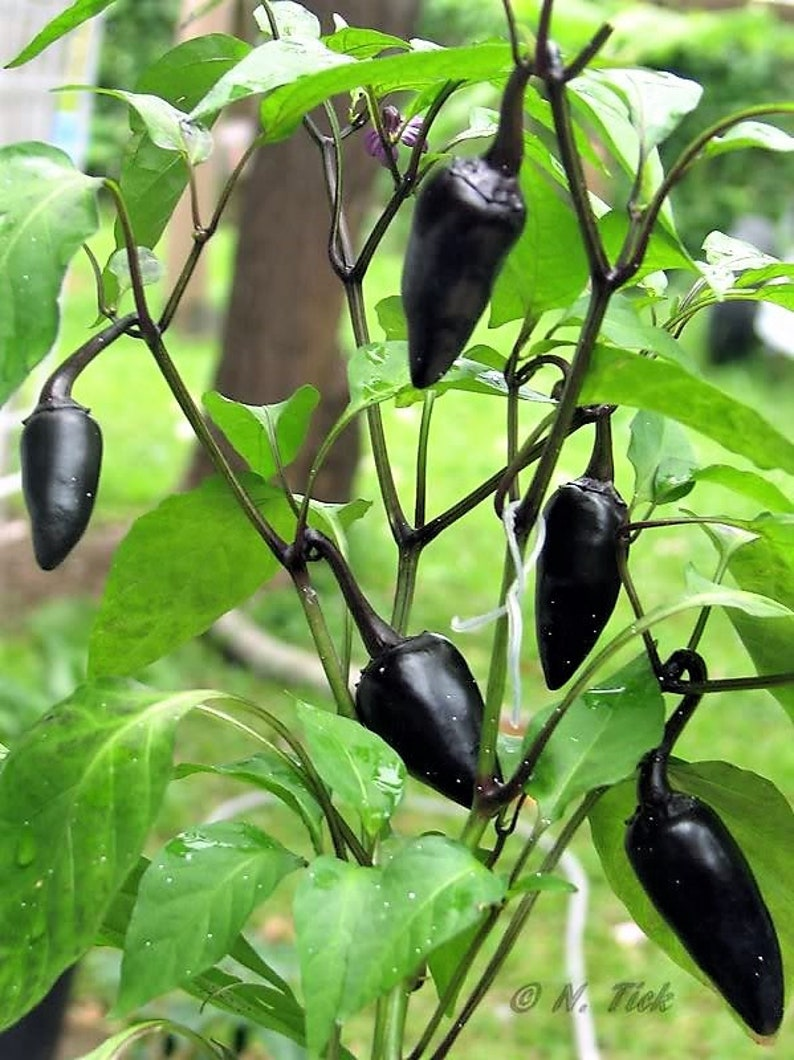25 Seeds From Organic Bolivian Rainbow Peppers-W 070 2018 Harvest