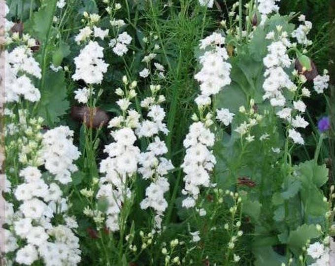 150 WHITE KING LARKSPUR Delphinium Consolida Knight's Spur Flower Seeds