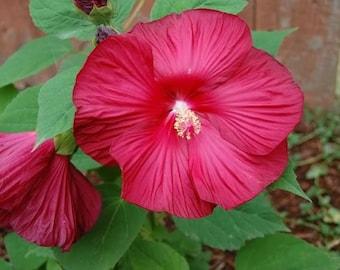 25 Grenache Vintage Hot PINK HARDY HIBISCUS Hibiscus Moscheutos Flower Seeds