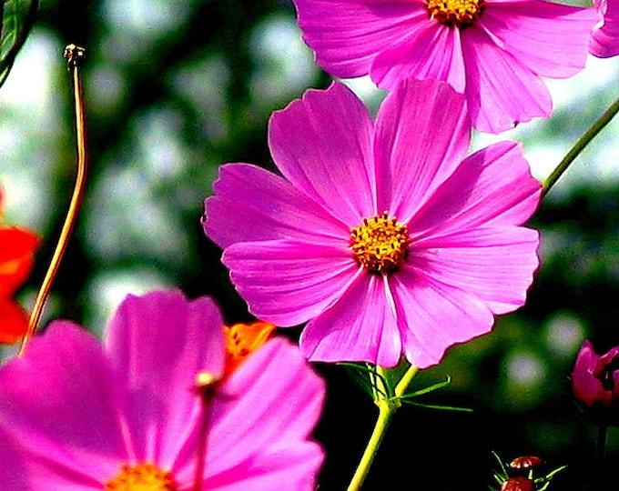 200 TALL PINK COSMOS Bipinnatus Flower Seeds