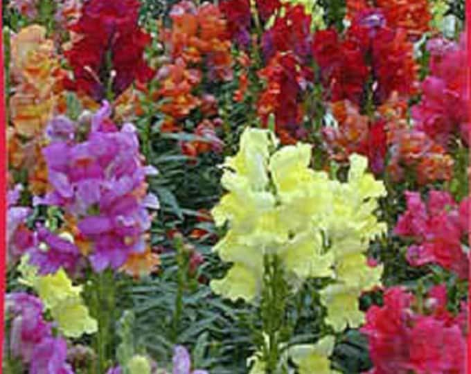 2000 Mixed MOROCCAN TOADFLAX / SNAPDRAGON Linaria Maroccana Flower Seeds *Flat Shipping