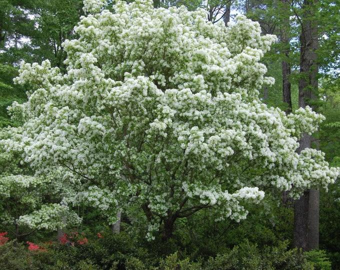 3 FRINGE TREE Chionanthus Virginicus Old Man's Beard White Flower Seeds *Flat Shipping