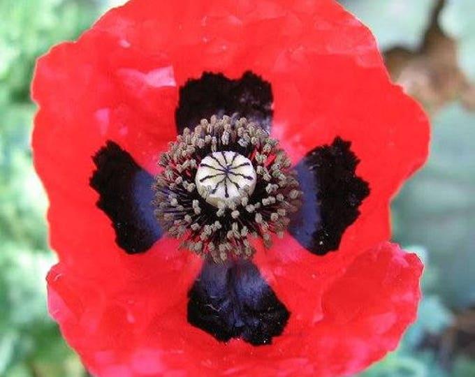 150 RED Lady Bird FLANDERS POPPY Papaver Commutatum Scarlet Black Flower Seeds *Flat Ship Rate