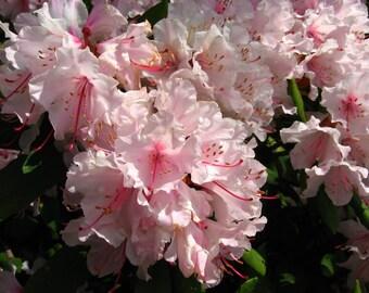 50 PINK ROYAL AZALEA Rhododendron Schlippenbachii Bush Shrub Flower Seeds