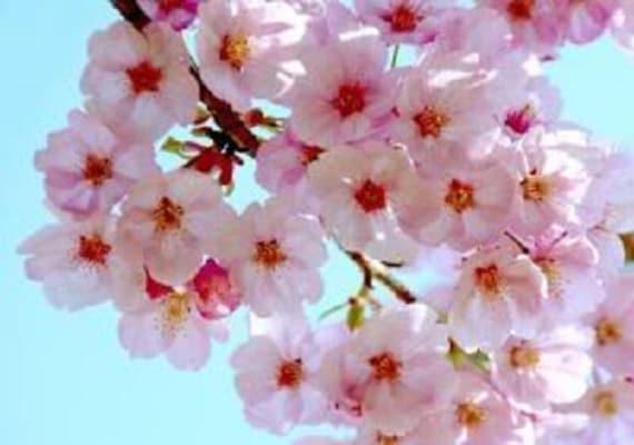 10 Japanese Cherry Tree Pink Cloud Oriental Sweet Prunus Etsy