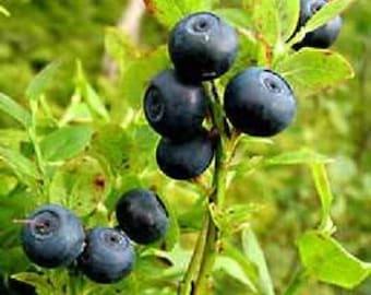 20 BILBERRY Fruit Shrub European Blueberry Vaccinium Myrtillus Seeds