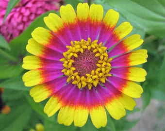 50 CAROUSEL MIX ZINNIA Elegans Carrousel Whirligig Mixed Colors Bicolor Flower Seeds