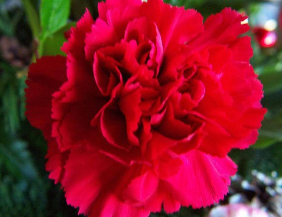 30 Double SCARLET PAEONY ASTER Red Peony Callistephus Flower Seeds Free Gift