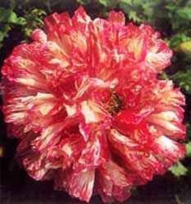 250 BOMBAST ROSE PEONY POPPY Pink Double Papaver Peoniflorum Seeds *Flat Ship $