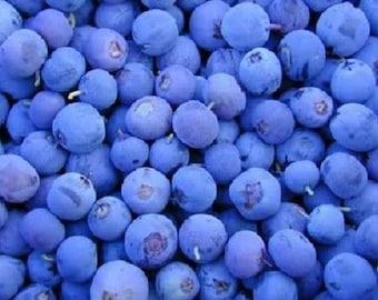 50 Northern HIGHBUSH BLUEBERRY BUSH Vaccinium Fruit Shrub Blue Berry White Flower Seeds
