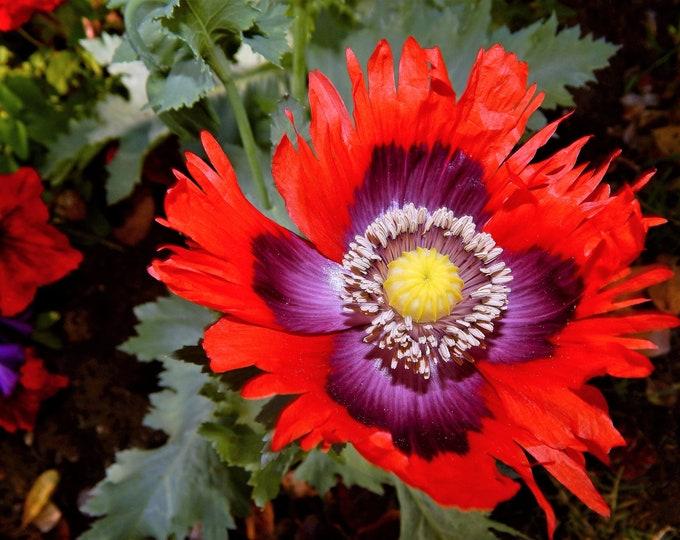 200 Organic JIMI'S FLAG POPPY Scarlet Red Electric Lavender & Deep Purple Papaver Somniferum Flower Seeds