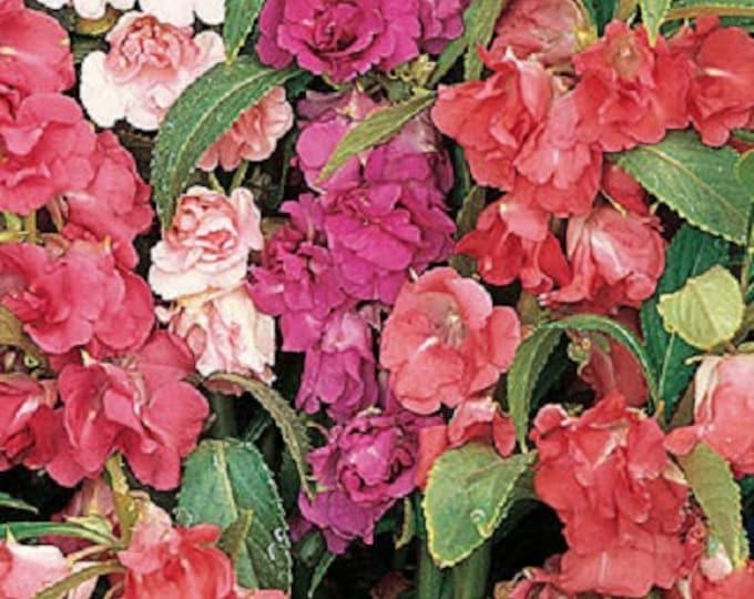 100 IMPATIENS (Balsam / Lady Slipper / Touch Me Not) Impatiens Balsamina Flower Seeds