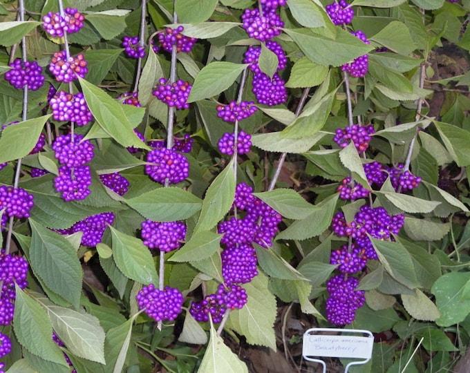 40 American PURPLE BEAUTYBERRY Shrub Flower Callicarpa Americana Seeds