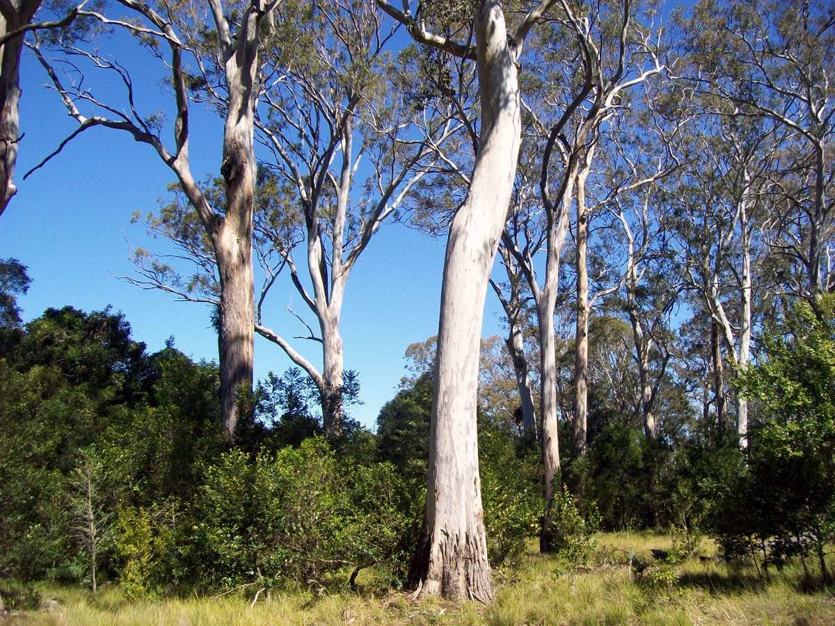 Forest Red Gum 200 Seeds Eucalyptus Tereticornis