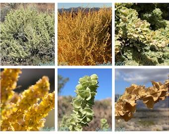 4 Oz Bulk FOURWING SALTBRUSH Atriplex Canescens Gray Sage Brush Chamiso Desert Shrub Seeds 4 Ounces (1/4 Lb Pound) Approx 13,000 Seeds
