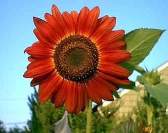 25 RED SUN SUNFLOWER Helianthus Annuus Flower Seeds