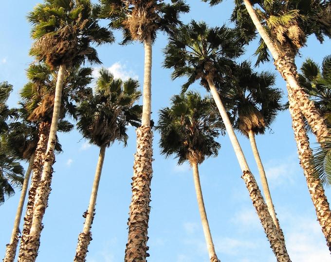 30 CALIFORNIA FAN PALM Tree Petticoat Arizona Desert Washingtonia Filifera Seeds