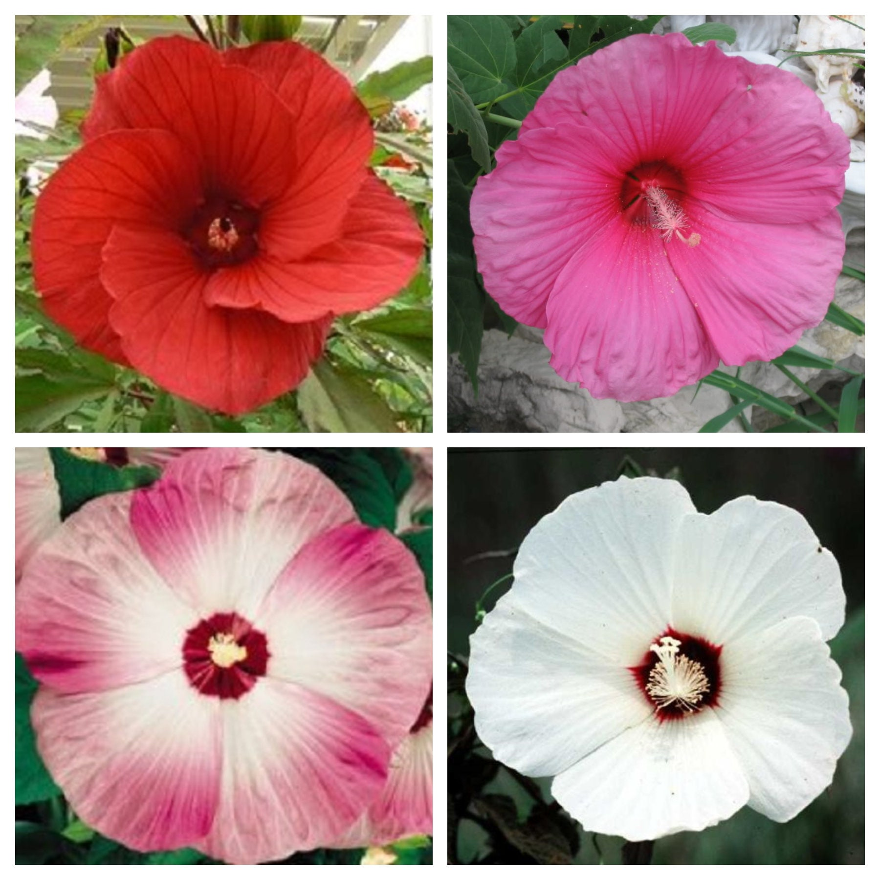 25 Mixed Luna Hibiscus Moscheutos Hardy Mixed Colors Red Hot Pink