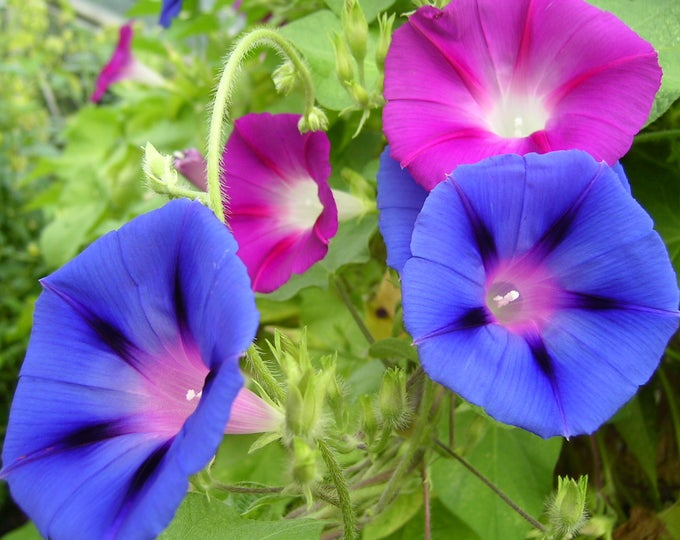 50 Mixed Colors MORNING GLORY Ipomoea Purpurea Vine Flower Seeds
