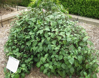 5 TRUE PATCHOULI SHRUB Fragrant Patchouly Pogostemon Cablin Herb Seeds