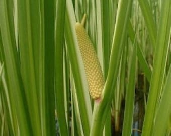 250 SWEET FLAG GRASS Wetland Pond Acorus Calamus Ornamental Seeds