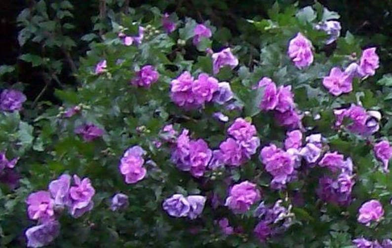 50 Purple Double Rose Of Sharon Hibiscus Syriacus Flower Tree Etsy