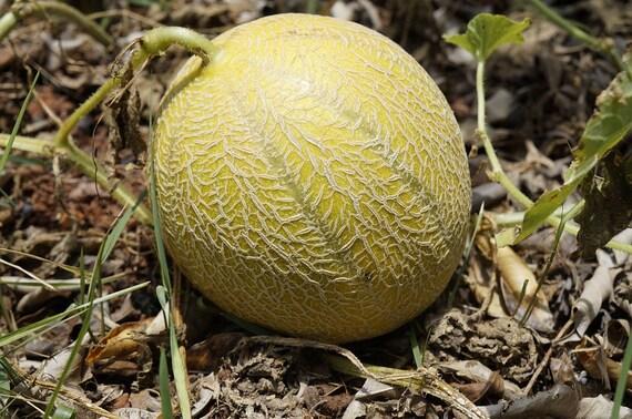 100 Minnesota Midget Cantaloupe Melon Cucumis Melo Reticulatus Etsy See more ideas about cantaloupe, cantaloupe and melon, cottage names. etsy