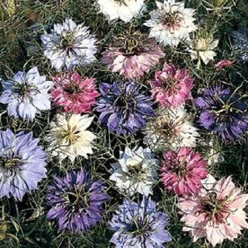 Johnsons Seeds Nigella Miss Jekyll Seed Ideal for cutting!