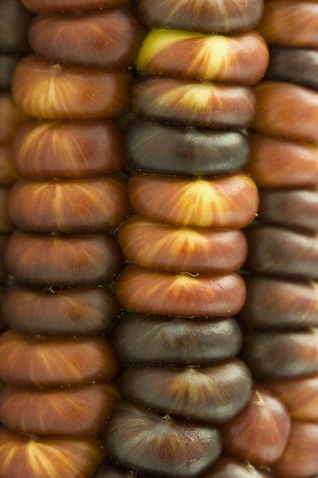 15 Bronze Glass Gem Corn Ornamental Gold Copper Edible Zea Mays
