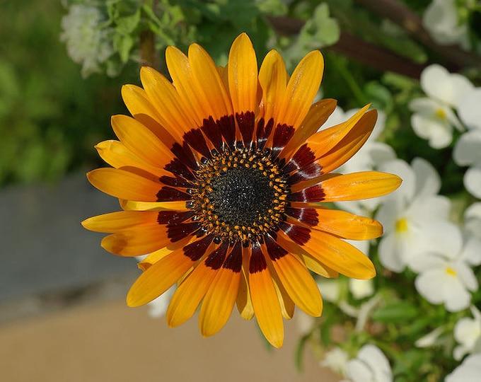 50 ORANGE PRINCE Cape DAISY Monarch of the Veldt Cendium Fastuosum Flower Seeds *Combined S/H
