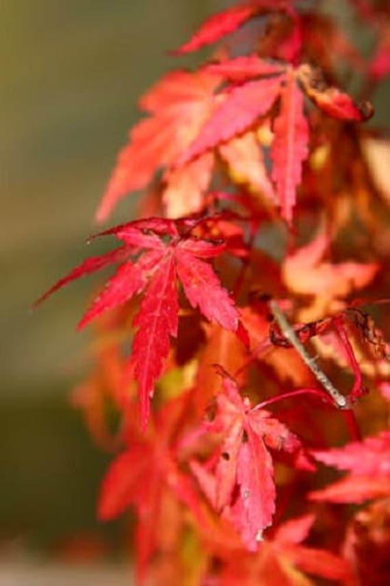 10 Japanese Maple Tree Ornamental Acer Palmatum Red Orange Etsy