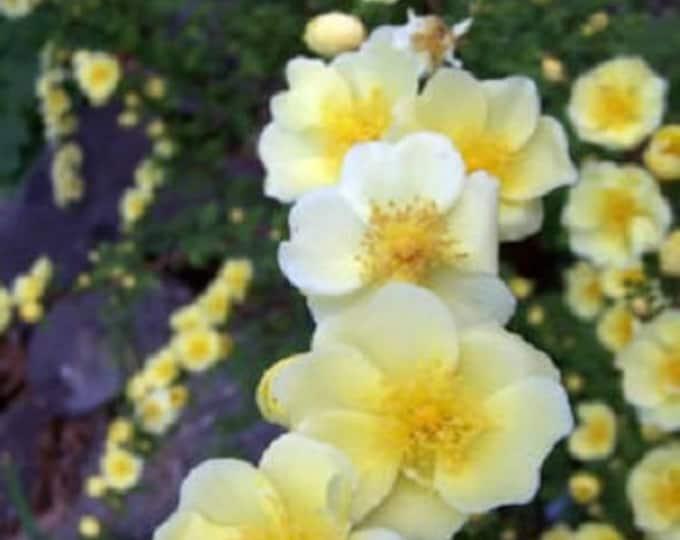 10 Golden Yellow FATHER HUGO ROSE Rosa Hugonis Flower Bush Shrub Seeds *Flat Shipping