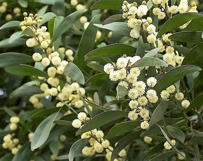 20 AUSTRALIAN BLACKWOOD TREE Black Acacia Melanoxylon Wattle Yellow Flower Seeds
