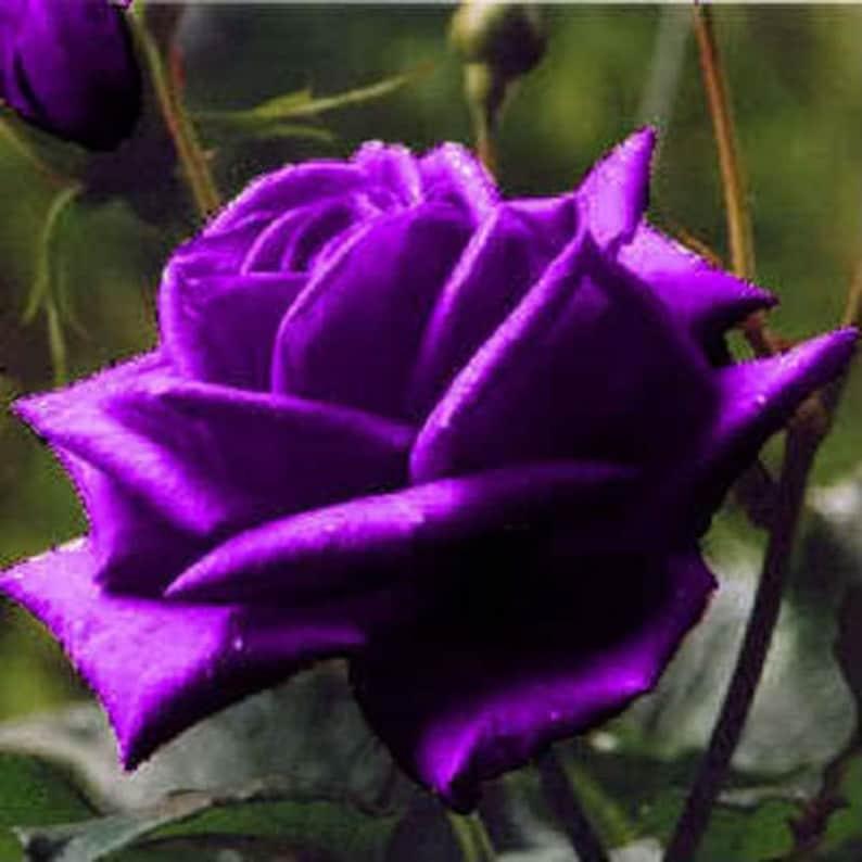 5 PURPLE ROSE Rosa Bush Shrub Perennial Flower Seeds *Comb S/H photo
