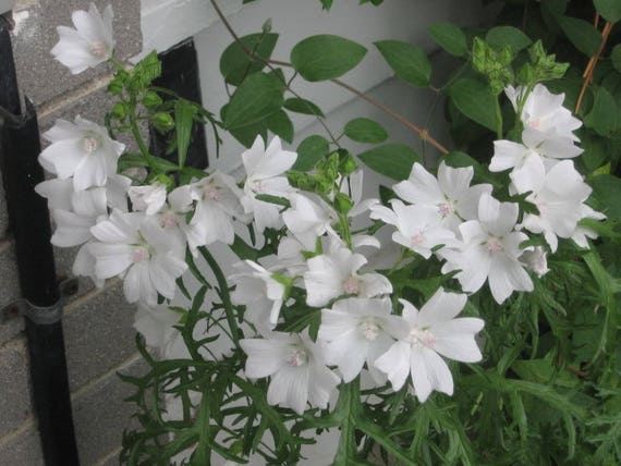 200 White GLADE MALLOW Napaea Flower Seeds *Comb S//H