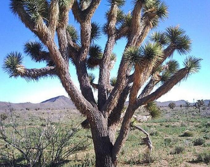 5 JOSHUA TREE Palm Tree Yucca Brevifolia White Flowers Cactus Succulent Seeds