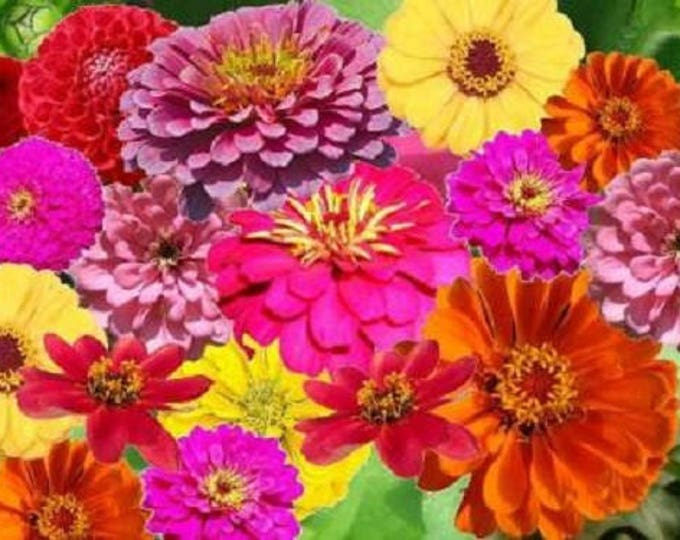 250 ZIN MASTER ZINNIA Mix Elegans Mixed Colors Flower Seeds *Flat Shipping